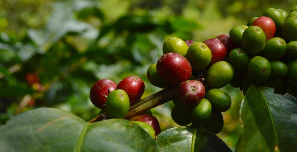 Venas cafetaleras: las vidas de las personas detrás del café