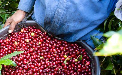 Hivos celebra un legado para la igualdad en el café